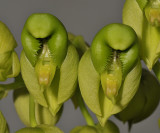 Catasetum purum. Close-up.