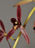 Cymbidium dayanum. Close-up.