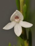 Dendrobium Section Herpethophytum