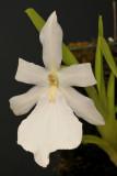Miltonia spectabilis. White form.