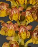 Robiquetia minahassae. Close-up.