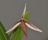 Bulbophyllum ascochilum. Closer.