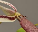Bulbophyllum ascochilum. Close-up.