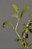 Bulbophyllum dependens.
