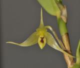 Bulbophyllum dependens. Close-up.
