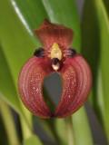Bulbophyllum lorentzianum. Closer. Front.