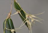 Bulbophyllum macrourum.