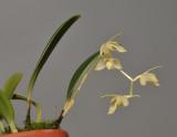 Bulbophyllum sopoetanense.