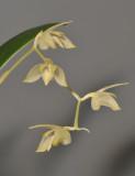 Bulbophyllum sopoetanense. Closer.