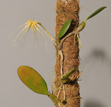 Bulbophyllum vaginatum.