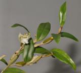 Dendrobium conspicuum