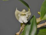 Dendrobium conspicuum. Closer.