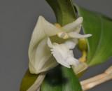 Dendrobium conspicuum. Close-up.