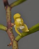 Ventricularia tenuicaulis. Close-up.