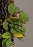 Bulbophyllum dischidiifolium subsp. aberans.