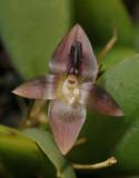 Bulbophyllum dischidiifolium subsp. aberans. Close-up.