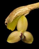Bulbophyllum cimicinum.