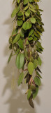 Bulbophyllum sp. nov. Sect. Oxisepala.