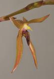 Bulbophyllum veldkampii. Closer.