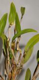 Dendrobium plicatile.