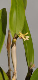 Dendrobium plicatile. Closer side.