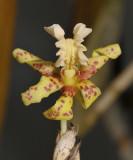 Dendrobium plicatile. Close-up.