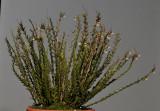 Podochilus lucescens.