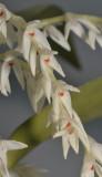 Bulbophyllum leucothyrsus. Closer.