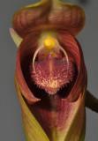 Bulbophyllum mandibulare. Close-up.