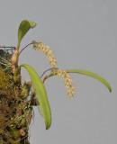 Bulbophyllum pumilum var. recurvum.