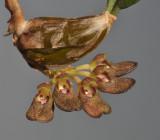Bulbophyllum spathulatum. Closer.