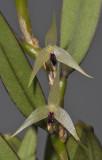 Bulbophyllum spec. sect. Fruticicola. Closer.