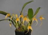 Bulbophyllum ankylochele.