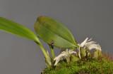 Bulbophyllum magnussonianum.