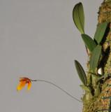 Bulbophyllum pardalotum.