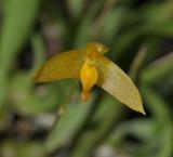 Bulbophyllum stylocoryphe. Close-up.
