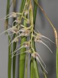 Bulbophyllum trifilum subsp. filisepalum. Closer.