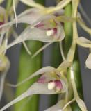 Bulbophyllum trifilum subsp. filisepalum. Close-up.