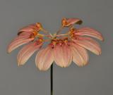Bulbophyllum weberi.