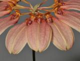Bulbophyllum weberi. Closer.