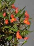 Ornithidium sophronitis.