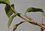 Pholidota gibbosa. Plant detail.
