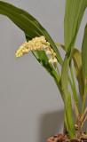 Pholidota spec. nov. aff. ventricosa.