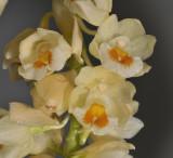 Pholidota spec. nov. aff. ventricosa. Close-up.