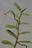 Renanthera sp.