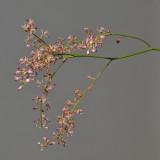 Acriopsis liliifolia var. auriculata.