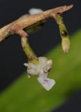 Agrostophyllum sp. Close-up.
