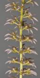 Bulbophyllum lissoglossum. Closer.