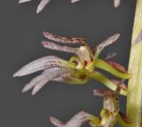 Bulbophyllum lissoglossum. Close-up.