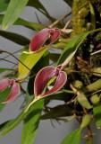 Bulbophyllum maxillare